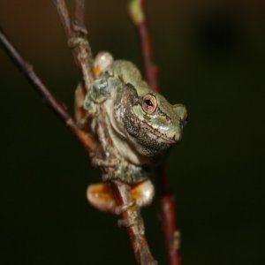 Image Siva Treefrog jigsaw puzzle